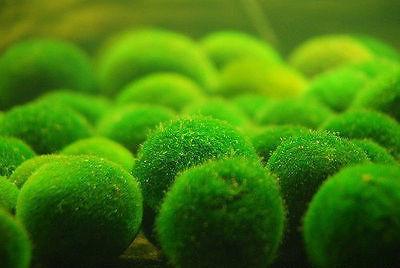 Nano Marimo Ball x 100-Live Aquarium Plant Fish Tank BP