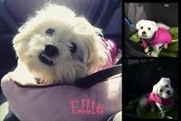 "Adult Female Dog - Maltese-Shih Tzu: ""Ellie"""