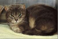"Adult Female Cat - Domestic Short Hair: ""Ennis"""