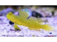 Yellow dotted goby sand cleaner marine tropical reef salt water fish Tank aquarium