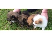 Litter of pomperaion puppy's