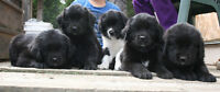 Newfoundland Puppies Available Soon
