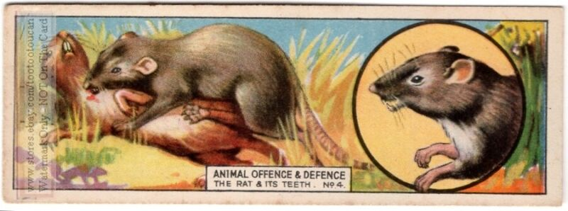 Rat Teeth Are Weapons Harder Than Copper And Iron c80 Y/O Trade Ad Card