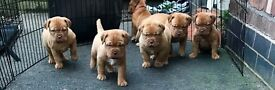 dogue de Bordeaux puppies
