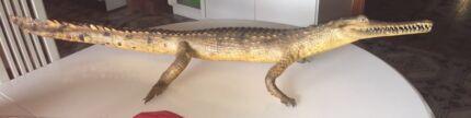 Genuine Australian Saltwater Crocodile Taxidermy