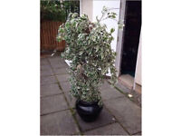 5ft artificial office plant