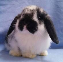 Mini Lop Rabbit Baby - Purebred, Black Butterfly Baby Boy Joondalup Joondalup Area Preview