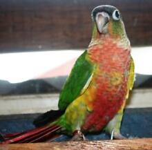 GREEN CHEEKED CONURE MUTATIONS COMPANION or BREEDERS TOP QUALITY Margate Redcliffe Area Preview