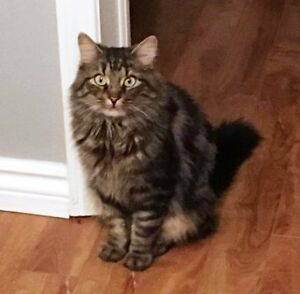 KLAWS:Now at LAWS rescue: friendly female fluffy tabby
