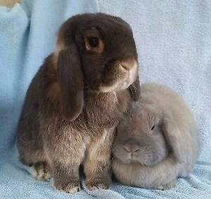 All Vet Work Done - 2x Mini Lop Rabbits - Bonded, desexed, vacc'd Joondalup Joondalup Area Preview