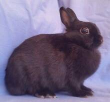 Netherland Dwarf Rabbit - Purebred, Black Adult Female Joondalup Joondalup Area Preview