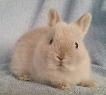 Netherland Dwarf Rabbit Babies - Purebred, Small Size, Tame Joondalup Joondalup Area Preview