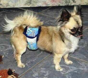 PEDIGREED DE-SEXED MALE CHIHUAHUA Hillcrest Logan Area Preview