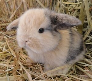 BIG SALE!  Adorable baby Mini lops 75.00 ready to leave now!