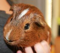 FOR SALE: GUINEA PIGS AND ACCESSORIES