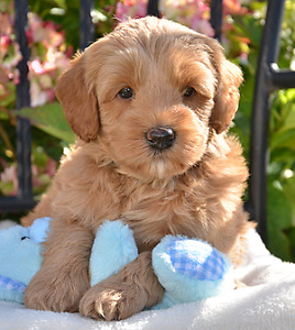 F1Labradoodle puppies(stock photo of puppy)