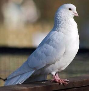 Pure White Homing Pigeons Underwood Logan Area Preview