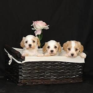 Cavalier-Bichon Puppies
