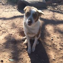 Collie/Kelpie X dogs to give away Glen Davis Lithgow Area Preview