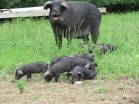 Farm Person or Couple for Heritage Pig Farm