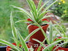 SPIDER PLANTS FOR SALE Trafford, Manchester