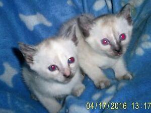 Lovely Traditional Siamese kittens