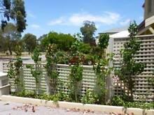 Ornamental Pear Capital - Pear Pyrus Calleryana $30 each Maylands Bayswater Area Preview