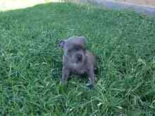Wanted english staffy pup wanted. Roleystone Armadale Area Preview