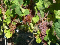 Home Winemakers!  Quality grapes for sale this fall
