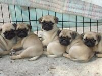 Pugs for sale!!! very cheap £250