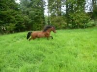 Pure bred Kerry Bog Pony - 6yr old, bay filly, 10.2hh. Sweet and happy nature, easy to handle