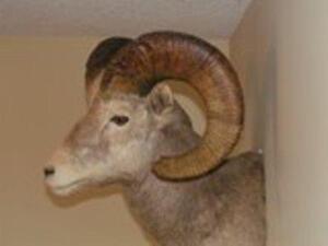 California Ram and ewe