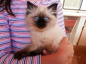 Ragdoll kittens for sale. ALL SOLD!!!! Mundubbera North Burnett Area Preview