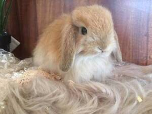 Purebred Mini Cashmere Lop Rabbits Looking for their Furever Home Googong Queanbeyan Area Preview