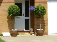 Matching Pair Mature Bay Trees (Laurel) full standard, strong and healthy of the finest quality