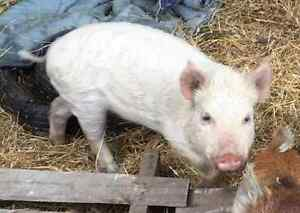 Mini-pig Female Entire -  8 month old ready to breed. Bairnsdale East Gippsland Preview