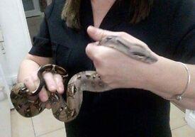 Bowa snake