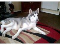 Alasken malamute white and grey