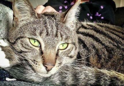 AC0101 : Peptides - CAT for ADOPTION - Vet work included Rockingham Rockingham Area Preview