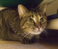 "Adult Female Cat - Domestic Short Hair: ""Kiara"""