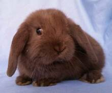 Mini Lop Rabbit Baby - Little Chocolate Ball of Fluff Joondalup Joondalup Area Preview