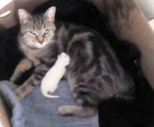 KLAWS: Reunited! Lost!  Bengal/Manx kitty, Durham St E,Lindsay Kawartha Lakes Peterborough Area image 1
