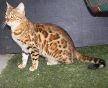 BENGAL BROWN MARBLE MALE FULL PEDIGREE Whiteside Pine Rivers Area Preview