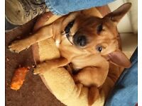 MISSING DOG - 'BRYN' 1yr old puppy brown heeler/corgi/terrier cross