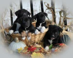 Gorgeous Friendly Border Collie Cross Pups