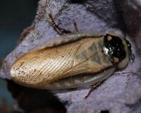 Feeder Roach Kits Available For Sale