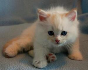looking for a purebred flame point ragdoll male kitten