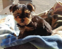 beautiful tiny male Yorkie