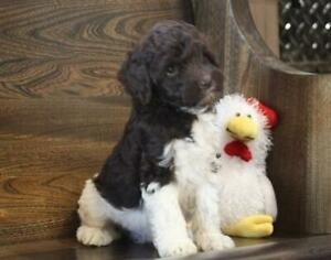 Labradoodle | Kijiji in Calgary  - Buy, Sell & Save with
