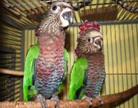 mâle Hawk head